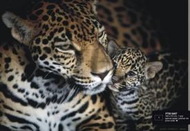 článek safari 21