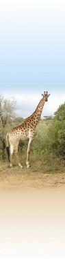 článek safari 5